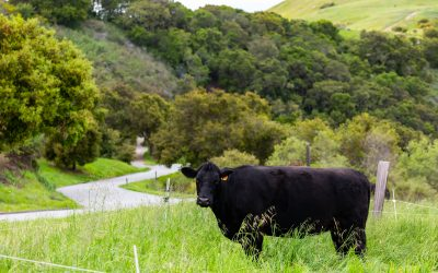 Conservation Cattle on the California Coast