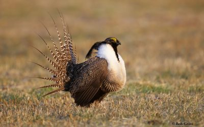 Saving the Gunnison Sage Grouse: Community Conservation in Action