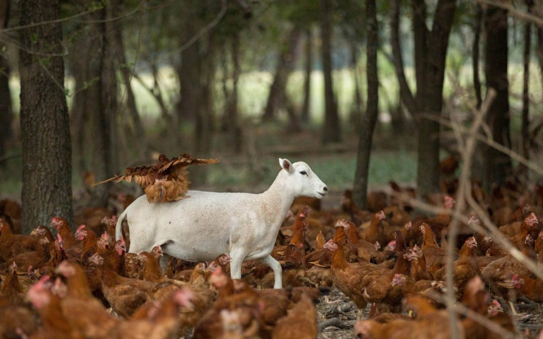 Converting from industrial to regenerative agriculture: White Oak Pastures