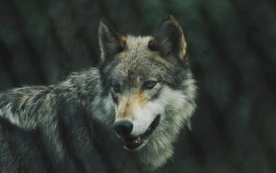 The fall and rise of the Mexican gray wolf