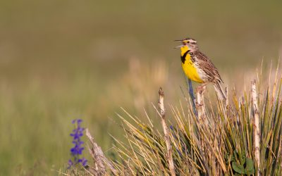 For the birds: Audubon's conservation ranching work