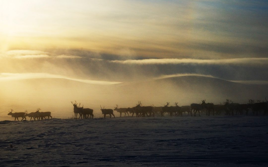 The Reindeer Chronicles: Stories of restoration from around the planet