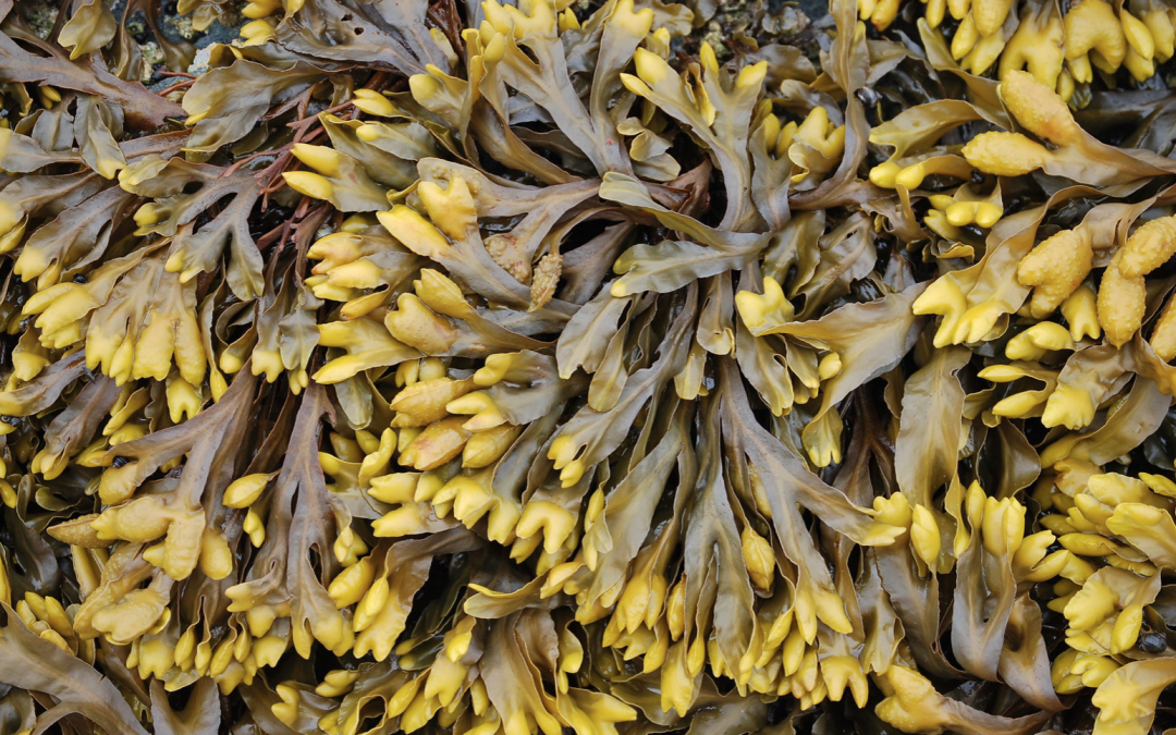 Rockweed: underwater forest or industrial commodity?